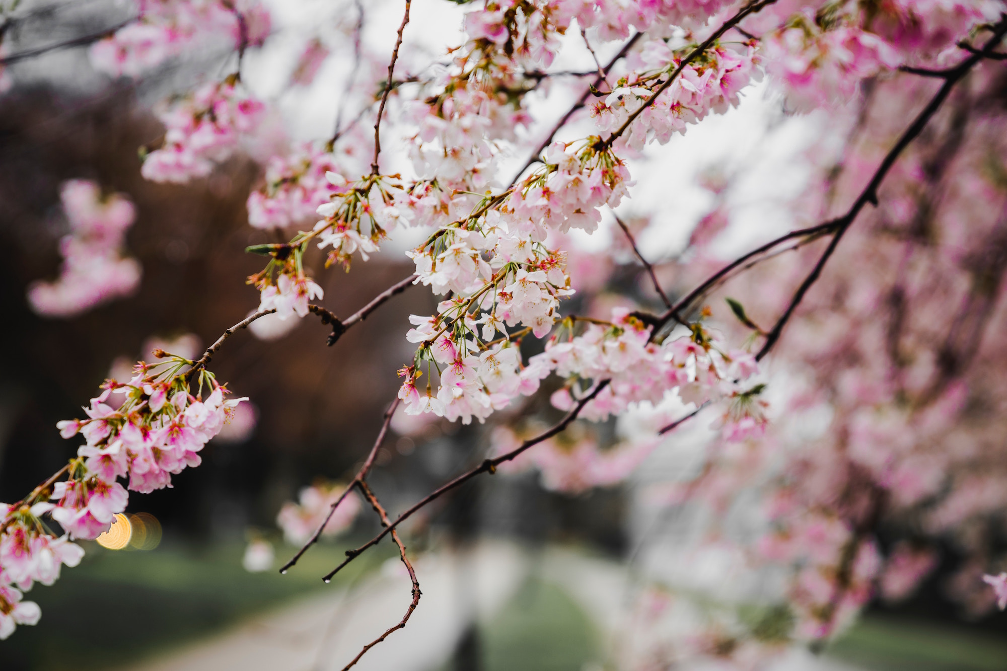 Sakura Counseling